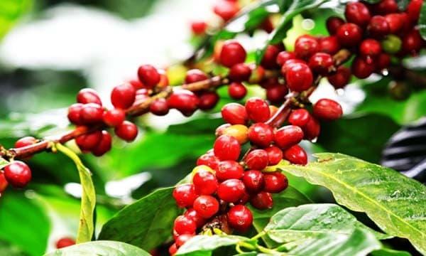 Coffee tree seeds
