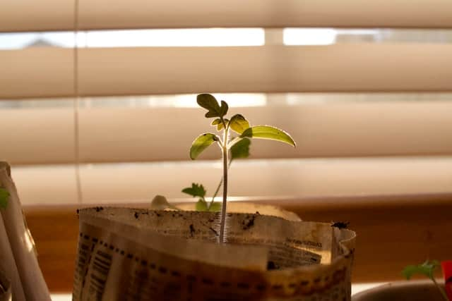 Growing a coffee plant at home