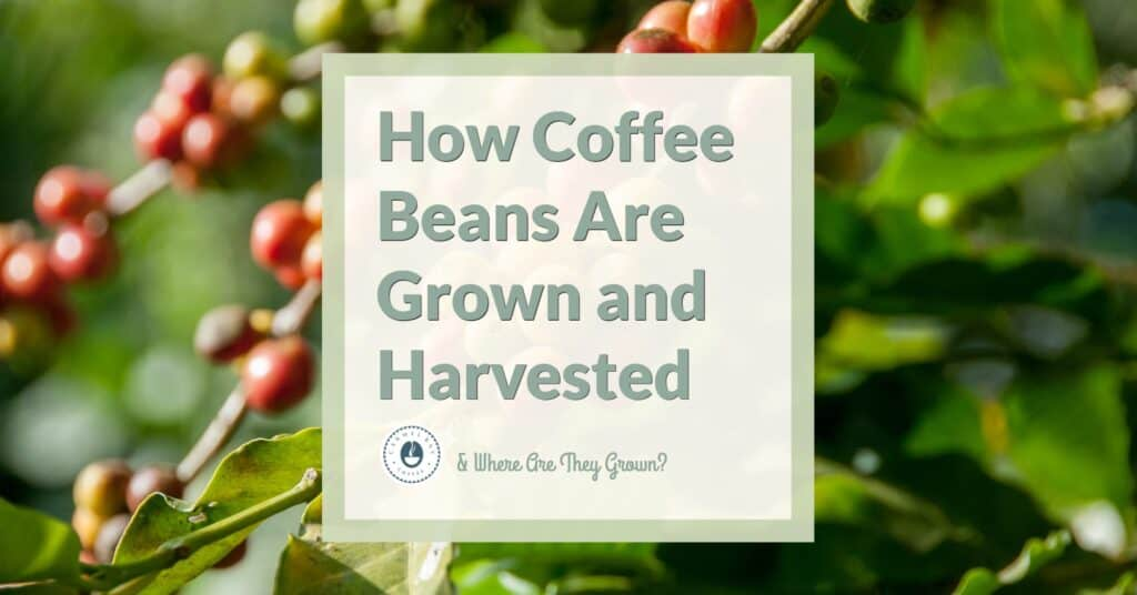 How Coffee Beans Are Grown and Harvested