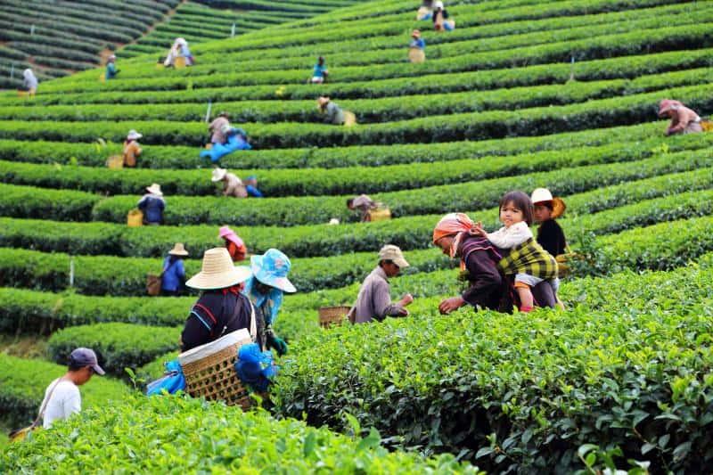 Thailand coffee plantation