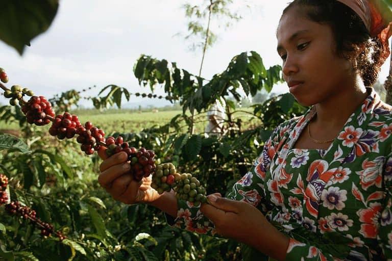 Southeast Asia Coffee Plantation